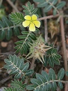 Τριβόλι Tribulus terrestris_